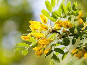Čimišník stromový (Caragana arborescens)