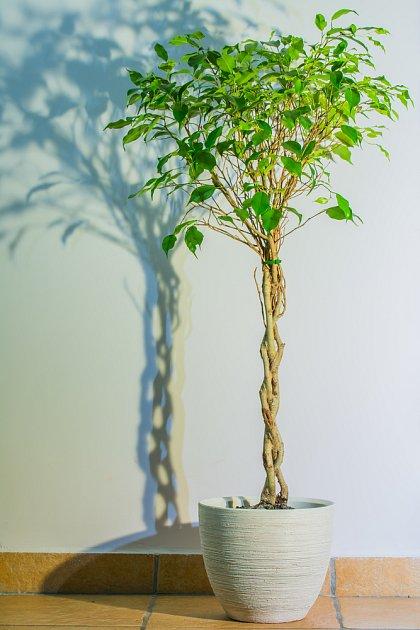 Fíkus benjamínek (Ficus benjamina) se spleteným kmínkem
