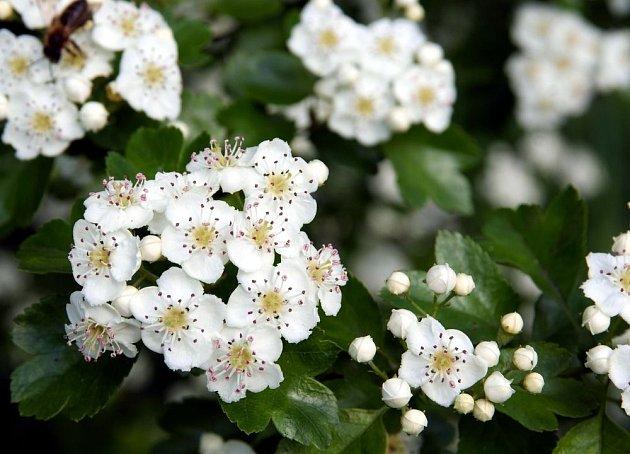 Květy hlohu jsou léčivé a uklidňující