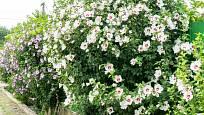 Z ibišků syrských můžeme tvarovat bohatě kvetoucí živé ploty.