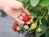 Při nešetrné sklizni můžeme poškodit ještě nezralé plody.