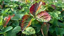 Odplozené jahodníky zbavíme nemocných a poškozených listů.