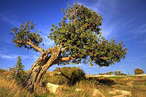 Rohovník obecný (Ceratonia siliqua L.)
