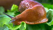 plzák španělský (Arion lusitanicus)