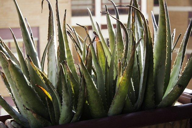 Aloe vera - prahne po světle, ale přímé sluce ráda nemá.