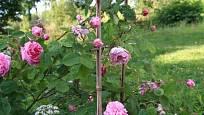 růže stolistá (Rosa x centifolia)
