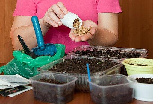 naklíčení semen