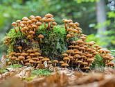 Opeňka měnlivá dostala jméno podle toho, že roste okolo pařezů a kmenů stromů