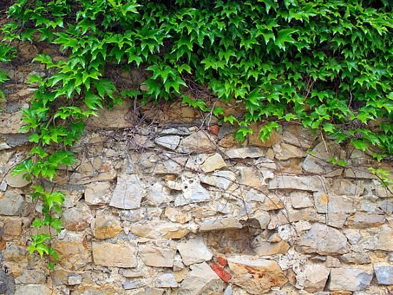 Přísavník ožoví klasicky stavěnou kamennou zeď
