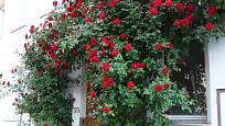 Pnoucí růže Sympathie
