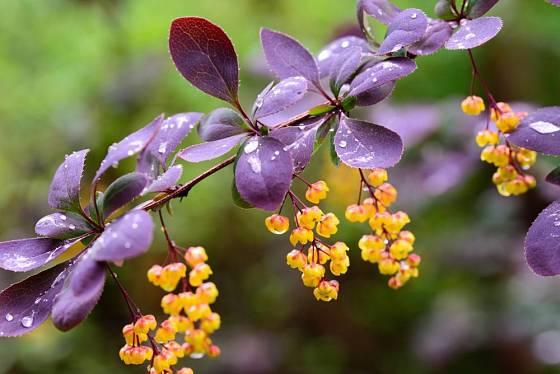 Žluté květy kontrastují s vínovými listy dřišťálu Thunbergova Atropurpureum