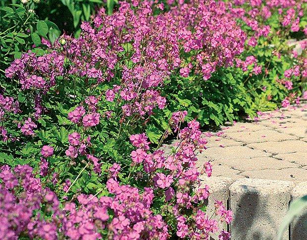Betonovým schodům propůjčují jemnější tvář květy kakostu oddenkatého