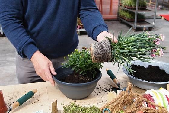 Zpod rostliny můžeme ubrat substrát, když sedí příliš vysoko a obráceně přidat substrát, když je moc hluboko.