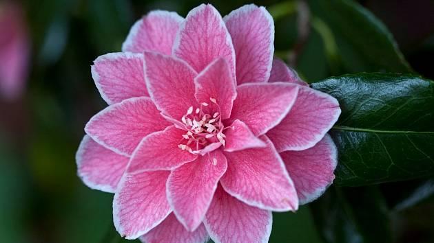 Krásná kamélie