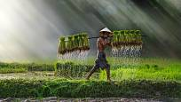 Sklizeň rýže v Asii