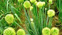 Trs cibule zimní maďarské v květu