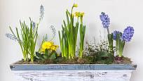 Jarní truhlík ve žluté a modré barvě: modřence, primule, narcisy a hyacinty.