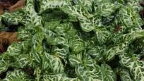 Árón italský se pěstuje v našich zahradách jako okrasná rostlina.