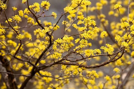 dřín obecný (Cornus mas) v květu