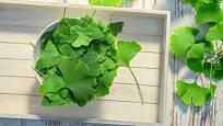 Listy jinanu dvoulaločného (Ginko biloba) jsou léčivé