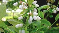 květy kanadské borůvky (Vaccinium corymbosum)