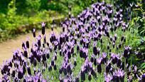 levandule korunkatá, tzv. francouzská levandule (Lavandula stoechas)