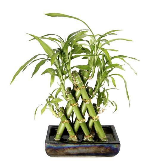 Lucky Bamboo je rostlina ideální pro vytváření různých kompozic.