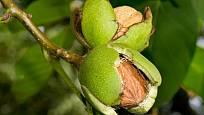 Ořechy jsou nesmírně cenné, zdravé, chutné a výživné dary ořešáku královského