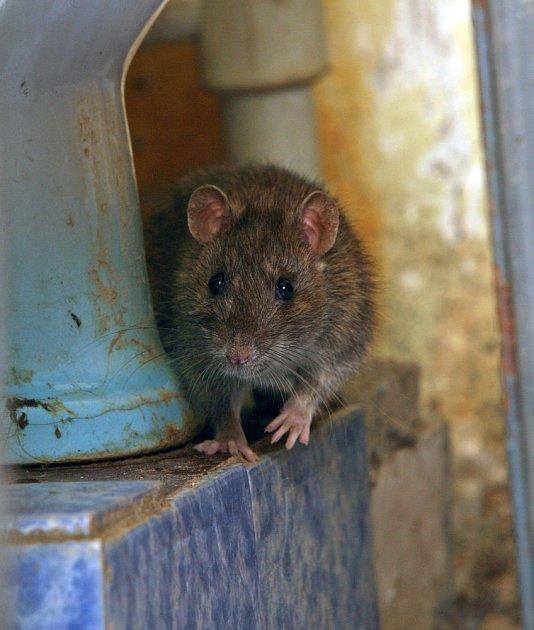 potkan je velmi mrštný