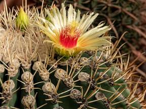 Kvetení kaktusu je malý zázrak.