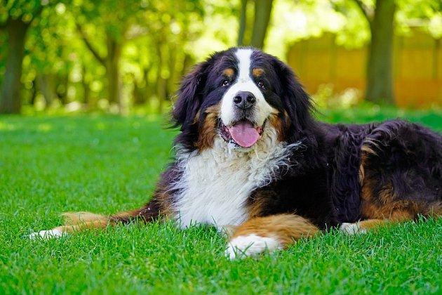 Bernští salašničtí psi bohužel často onemocní rakovinou.