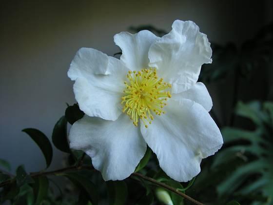 Kamélie japonská (Camellia japonica) čili japonská růže