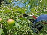 Letní řez jabloní zmírňuje neřízený divoký růst větví a zároveň prosvětluje korunu.