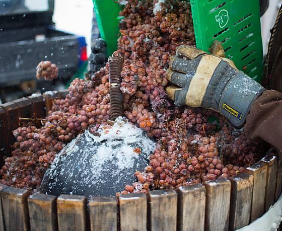 Hrozny pro výrobu ledového vína musí přejít mrazem