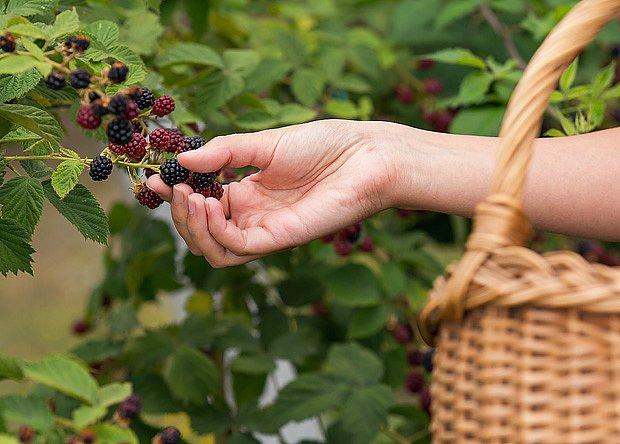 Ostružiny jsou chutné a výjimečně zdravé ovoce