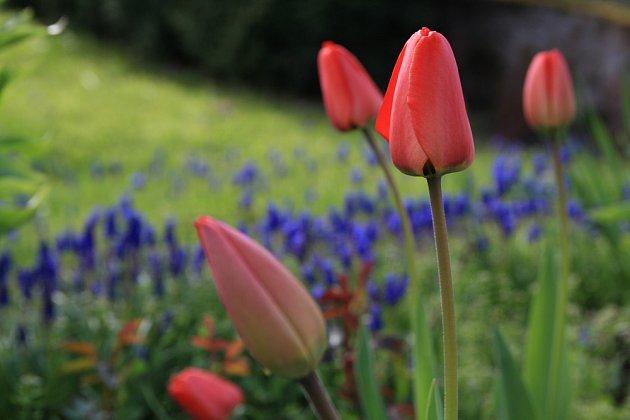 Pozdní tulinány kvetou po celý měsíc