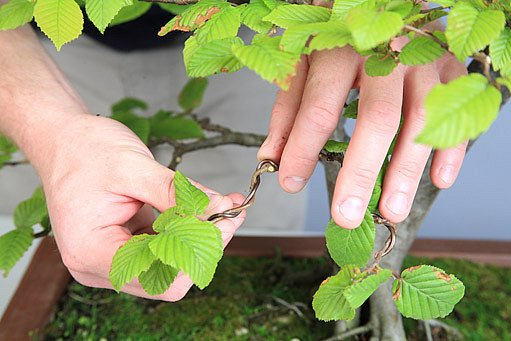 tvarování bonsaje drátem