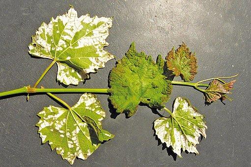 hálčivec révový (Calepitrimerus vitis)