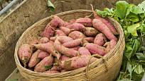 Batáty, známé jako sladké brambory.