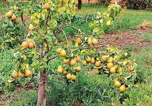 Bohemica – násada plodů na hrušňovém semenáči