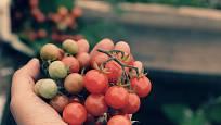 Rajče bedrníkolisté čili divoké rajče