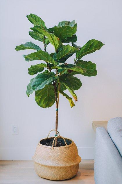 fíkus lyrovitý (Ficus lyrata)