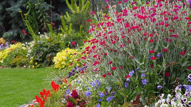 Kohoutek věncový nadělá v zahradě spoustu parády.
