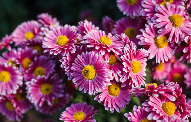 Chryzantémy čili listopadky ozdobí zahradu na sklonku léta a na podzim