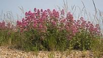 Mavuň červenou můžeme úspěšně pěstovat i ve štěrkových záhonech.