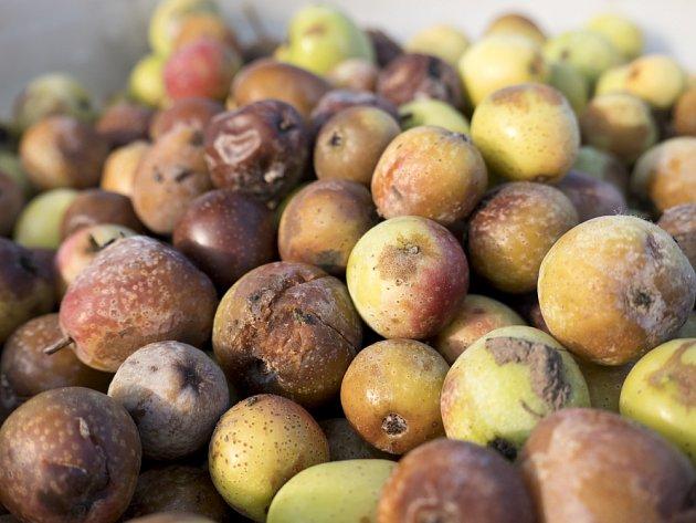Plody oskeruše jsou nejlepší, když zhniličkovatí