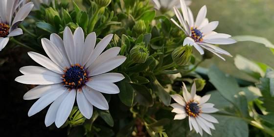 Bílé květy kopretinového typu jsou u těchto letniček rovněž velmi oblíbené.