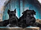 Knírači jsou populární psi s vynikajícím pracovními schopnostmi.