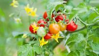 Rajčata jsou nejen užitečnou, ale i pohlednou rostlinou