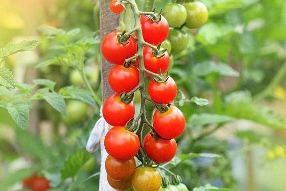 Sladké třešňové rajče Gardener's Delight